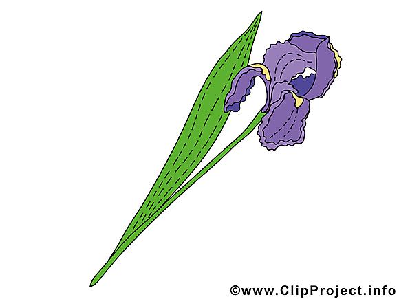 Iris clip art gratuit – Fleurs images