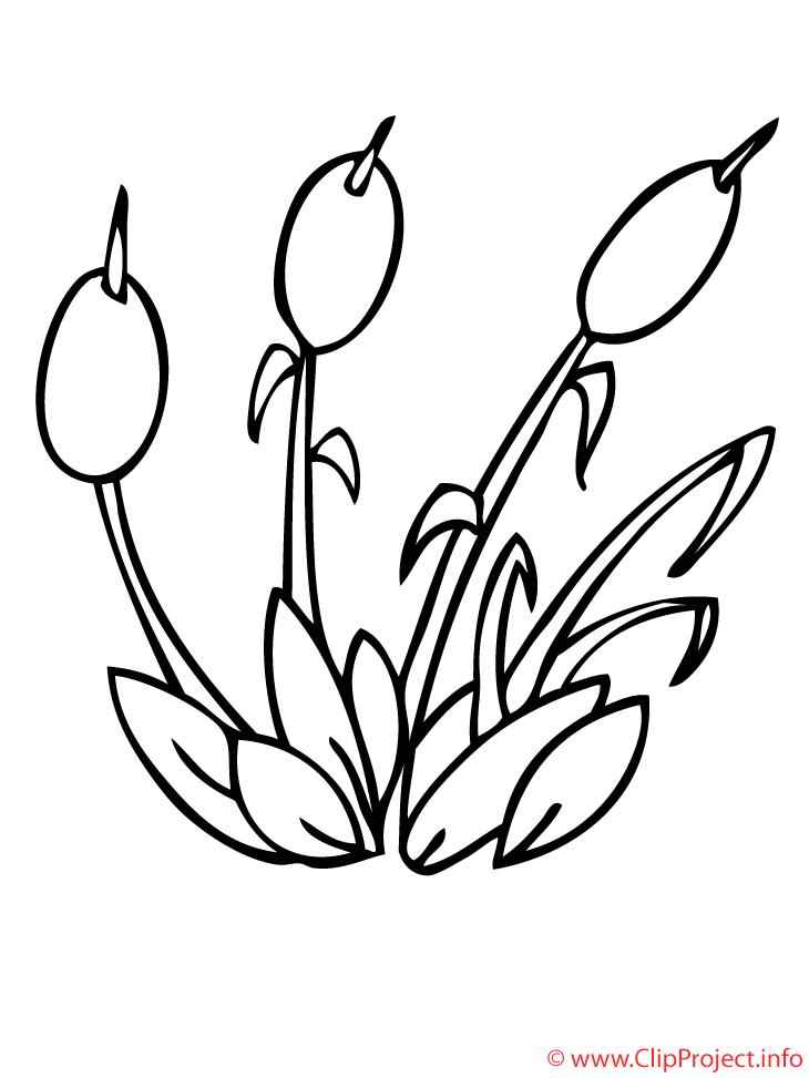 Jonc Coloriage Plantes Coloriages Dessin Picture Image