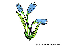 Bleuet image gratuite – Fleurs cliparts