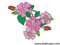 Églantine image à télécharger – Fleurs clipart