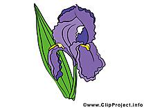 Iris images à télécharger – Fleurs clip art gratuit