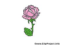 Pavot image gratuite – Fleurs illustration