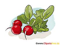 Radis dessins gratuits - Légume clipart